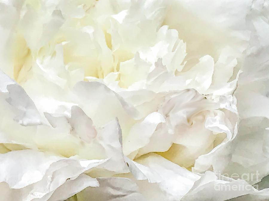 White Peony by Randy J Heath