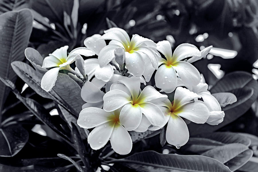 White Petunias by Carlos Diaz