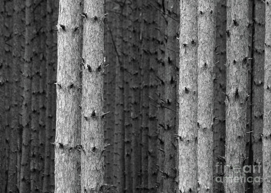 White Pines Black and White by Paula Guttilla