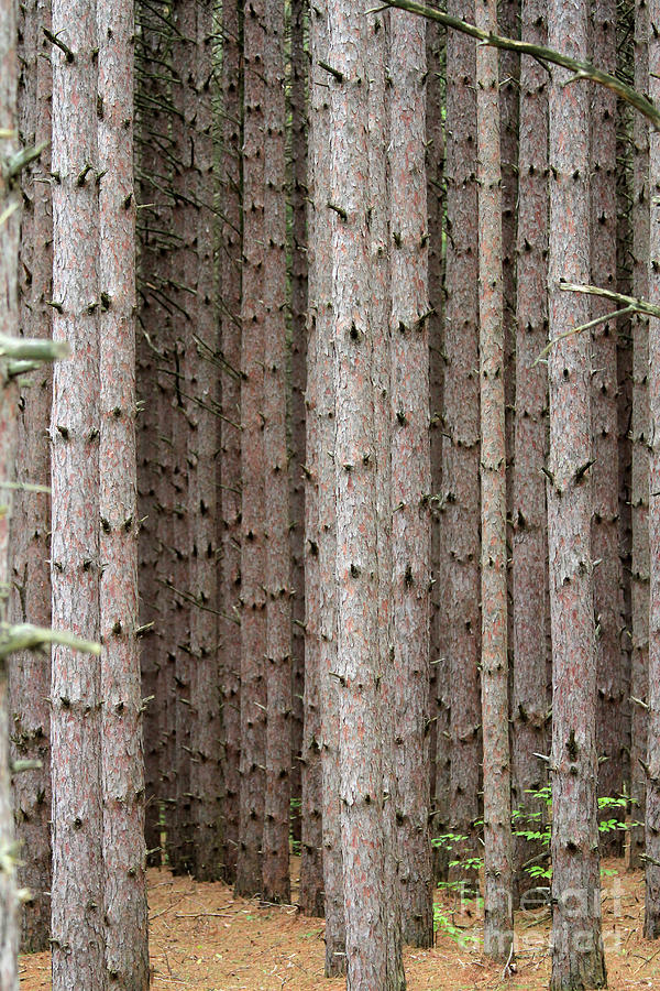 White Pines by Paula Guttilla