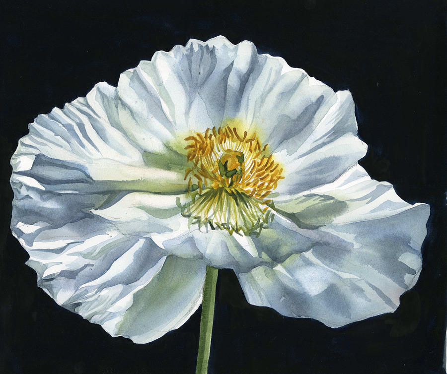 white poppy for peace by Alfred Ng