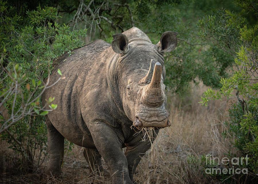 White Rhino by Jamie Pham