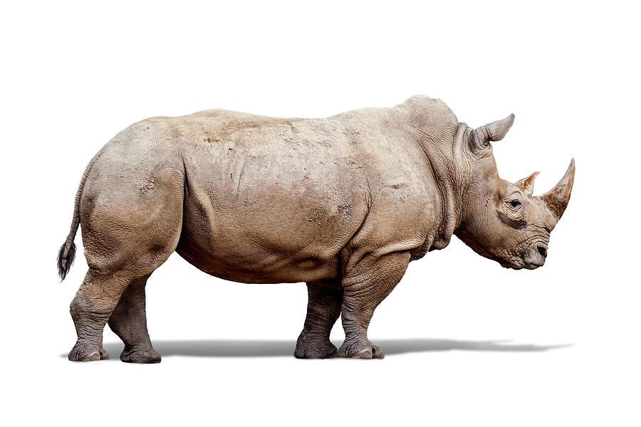 Southern White Rhino Named Lou Lou Photograph