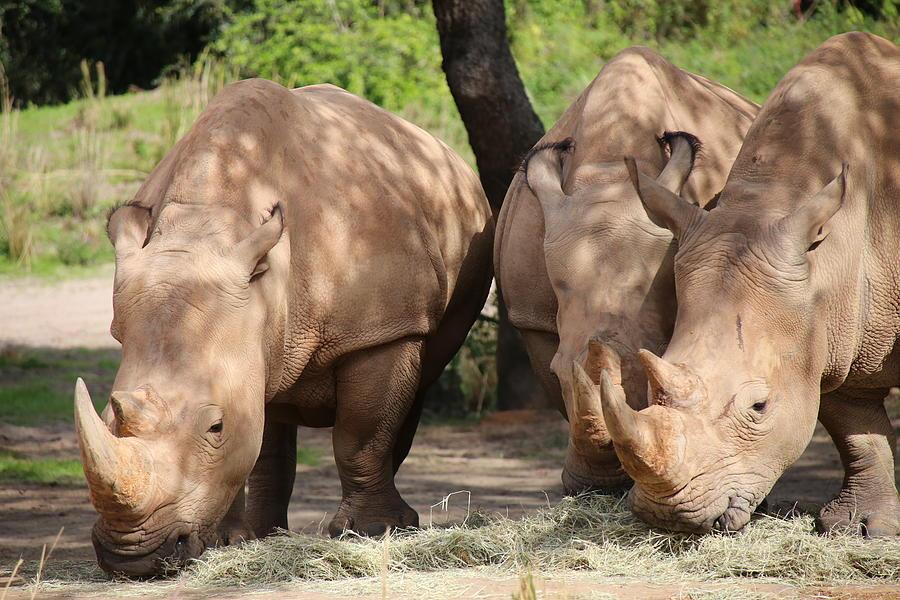 Rhino Photograph - White Rhinos by Alina Avanesian