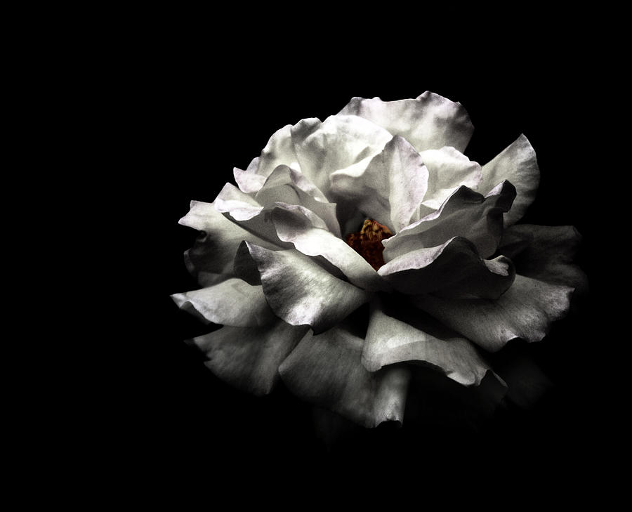 White Rose Photograph by Lola L. Falantes