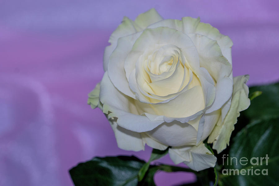 White rose on a lavender background by Annerose Walz
