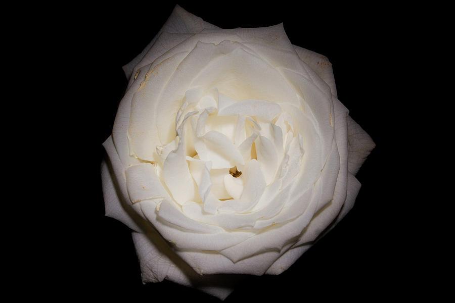 White Rose on Black by Eugene Campbell