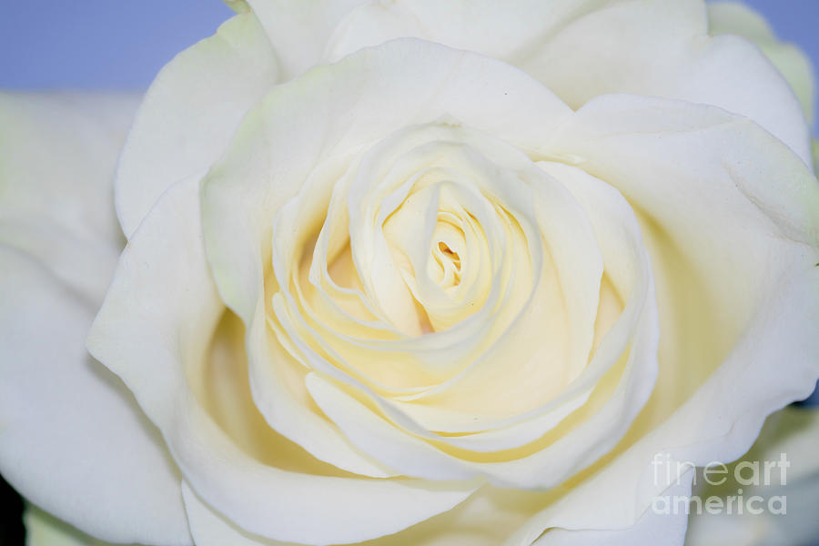 White Rose on blue background by Annerose Walz