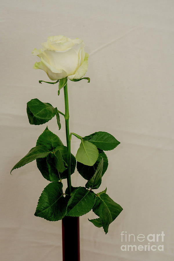 White Rose on white background by Annerose Walz