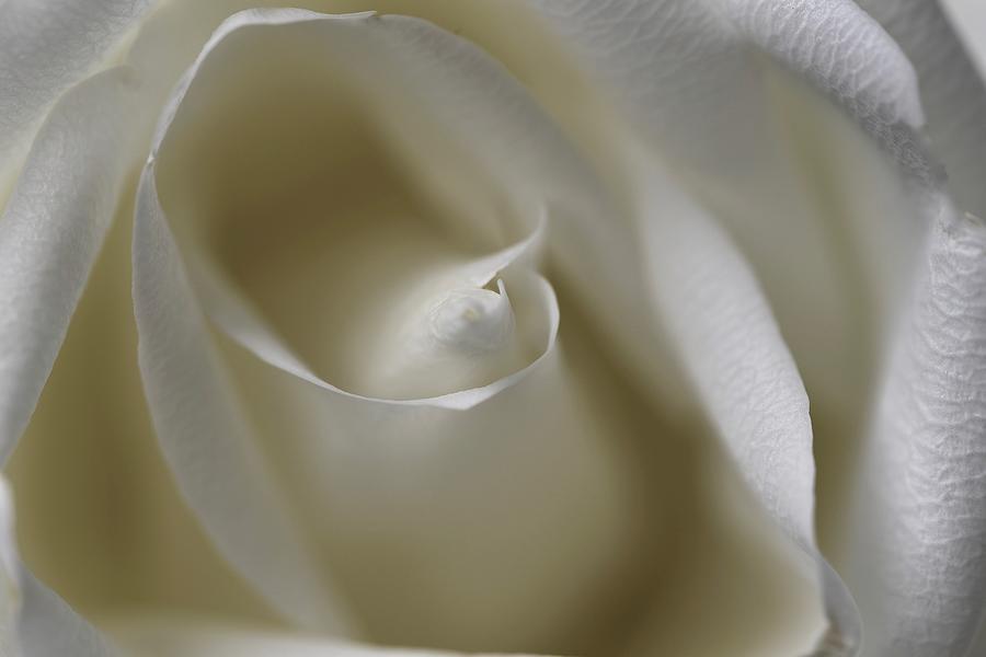 Pristine Photograph - White Rose Swirl by Lynn Hunt