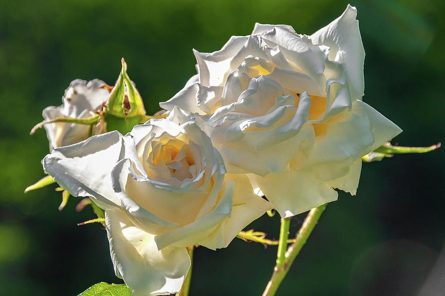 White Roses #2 by Dimitris Sivyllis