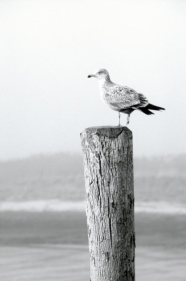 Tranquility Photograph - White Seagull On Post, Cape Cod by Steven Emery