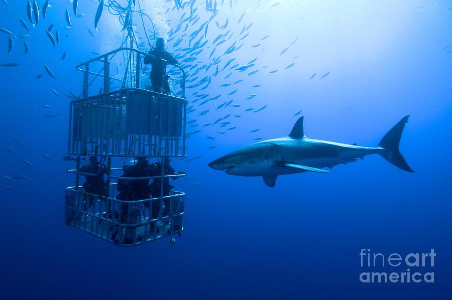 Big Photograph - White Shark Cage  Great White Shark by Stefan Pircher