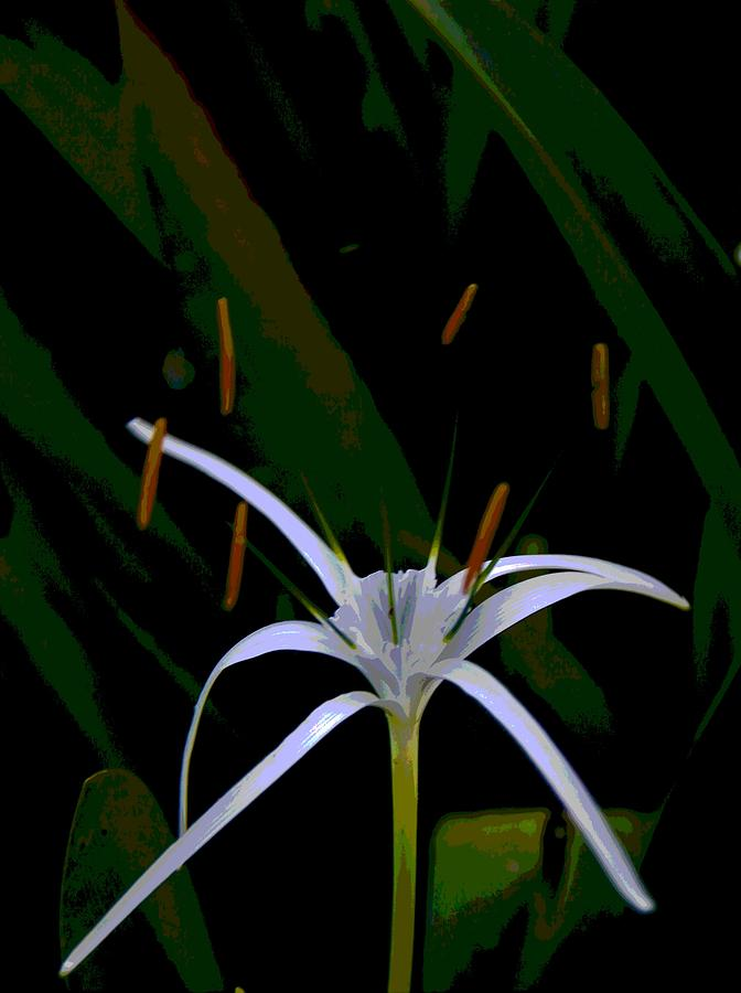 White Spider Lily by Philip Bracco