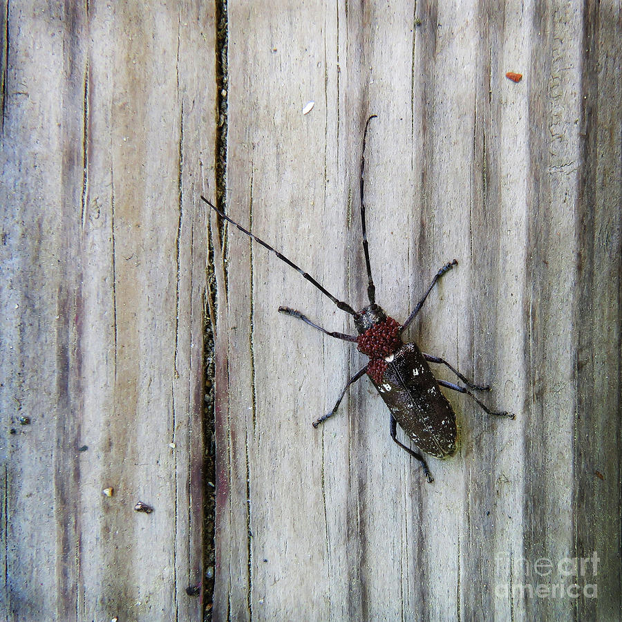 White Spotted Sawyer Beetle by Amy E Fraser