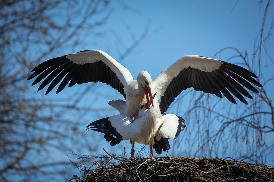 Stork Photograph - White Storks In Spring by Toby Luxberg