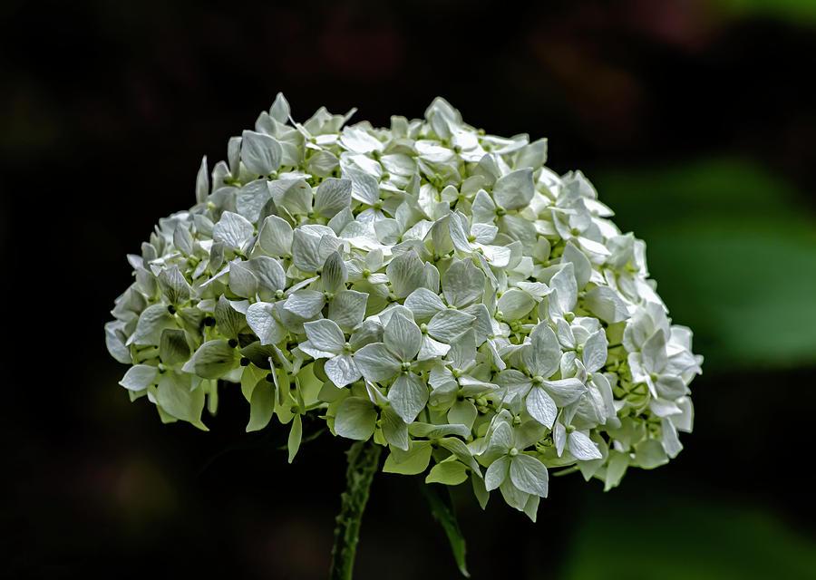 White Summer Flower by Robert Ullmann