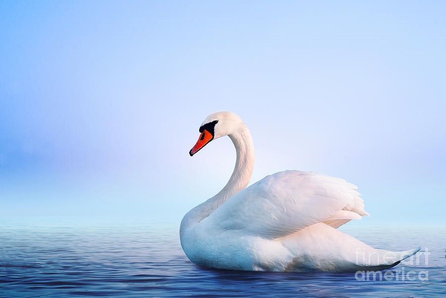 Love Photograph - White Swan In The Foggy Lake At The by Dima Zel