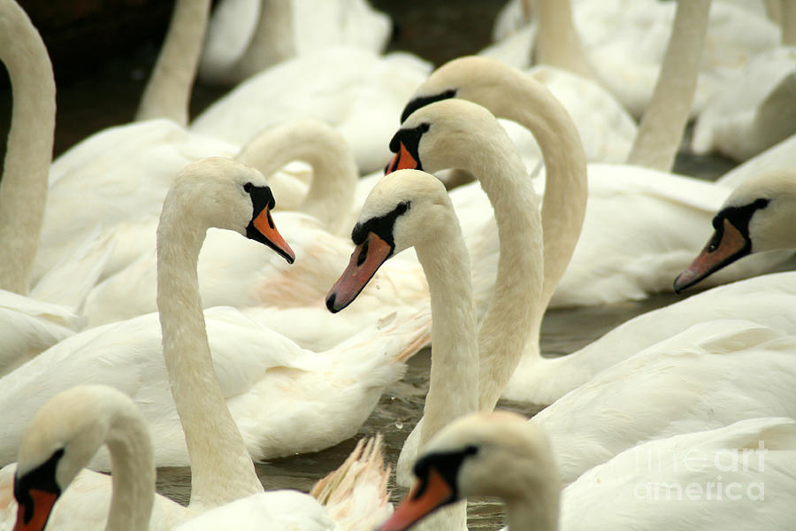 Feather Photograph - White Swans On A Canal In Stratford by Paul Banton