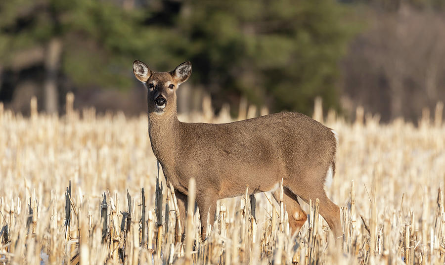White-tailed Deer 2019-1 by Thomas Young