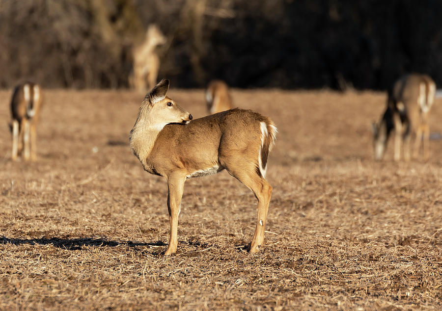 White-tailed Deer 2019-3 by Thomas Young