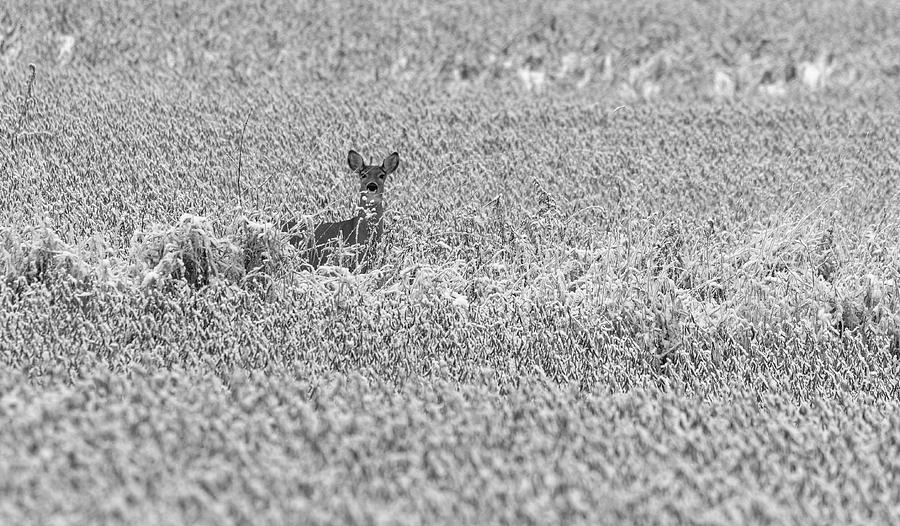 White-tailed Deer 2019-4 by Thomas Young