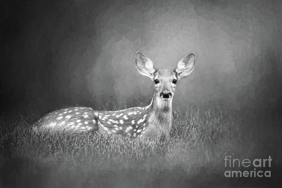 White Tailed Deer Fawn Black And White by Sharon McConnell