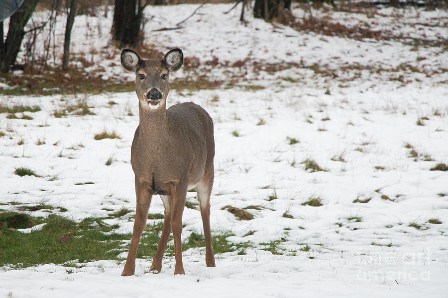 White Tailed Doe by Sheila Skogen