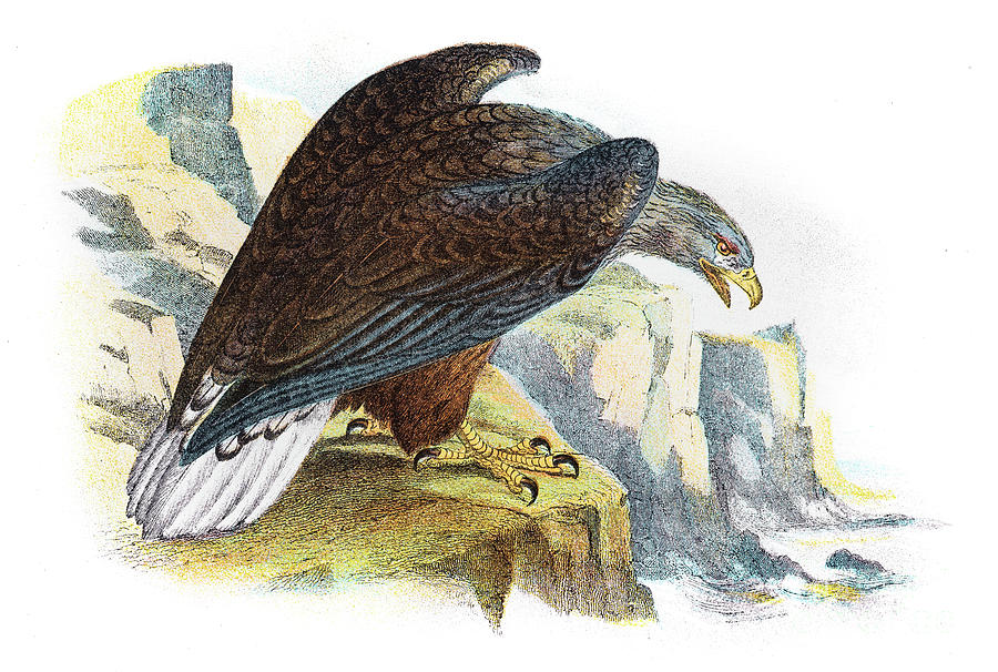 White Tailed Sea Eagle Illustration 1896 Digital Art by Thepalmer
