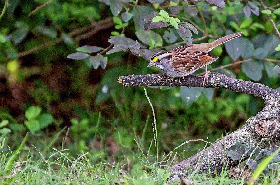 White-throated Sparrow by John Benedict