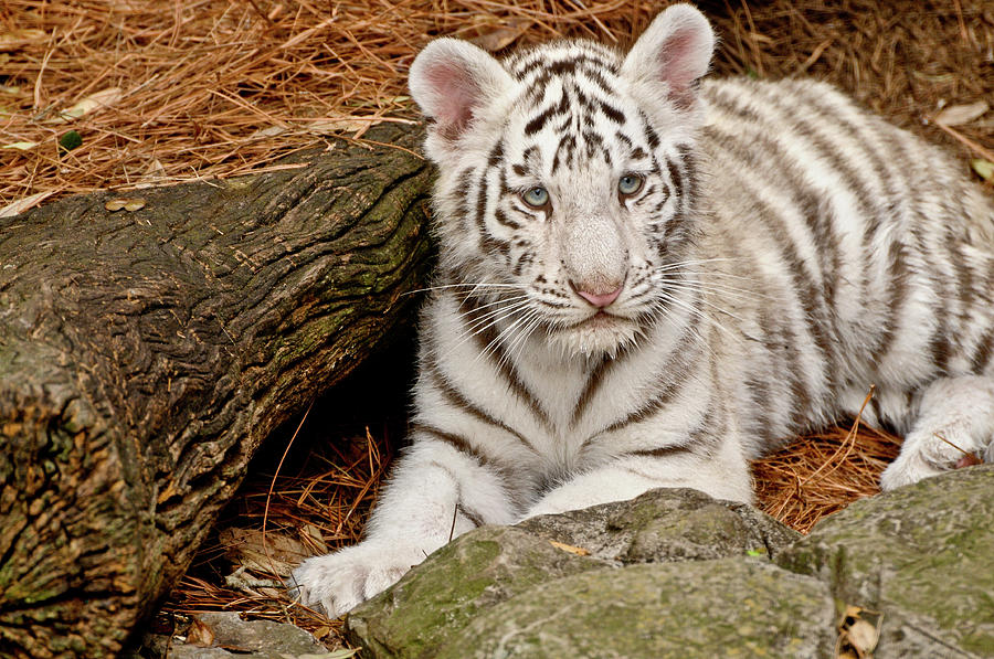 White Tiger Cub Photograph by Empphotography
