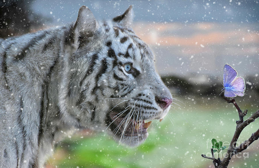 White Tiger Curiosity by Stephan Grixti