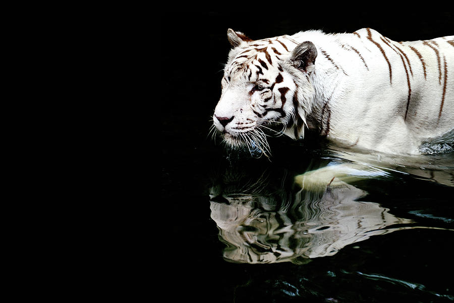 White Tiger In Water Photograph by Carlina Teteris