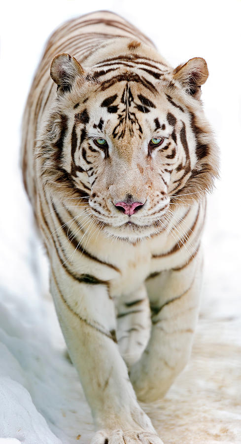 White Tiger Photograph by Picture By Tambako The Jaguar