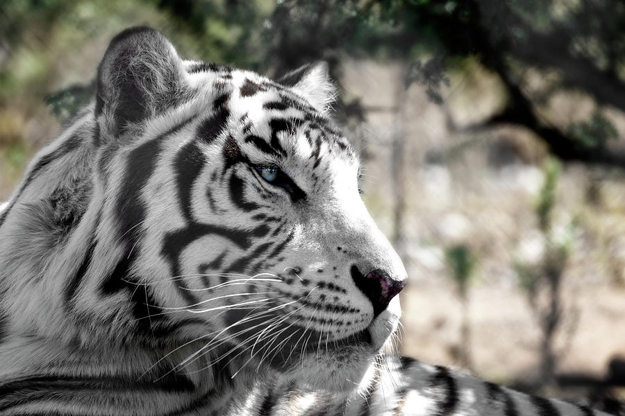 White Tiger by Wes and Dotty Weber
