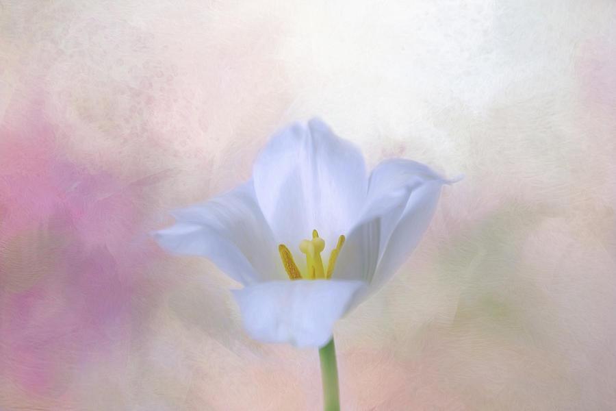 White Tulip by Kim Hojnacki