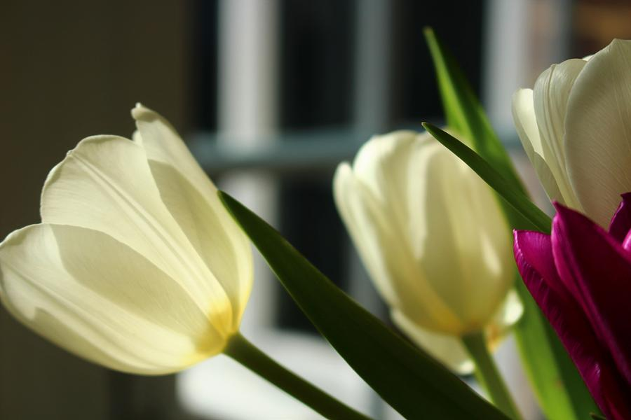 White Tulips By the  Window by Loretta S