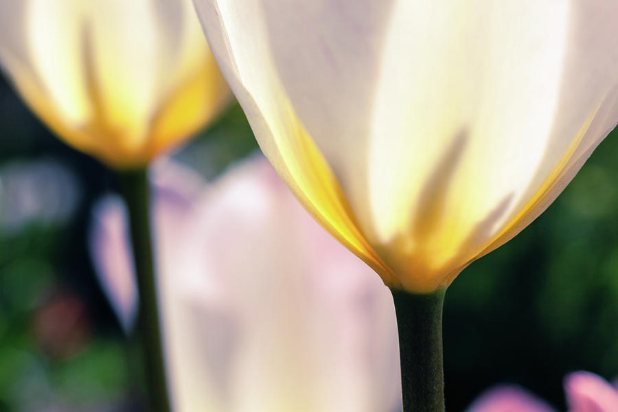 White Tulips by Jeanette Fellows