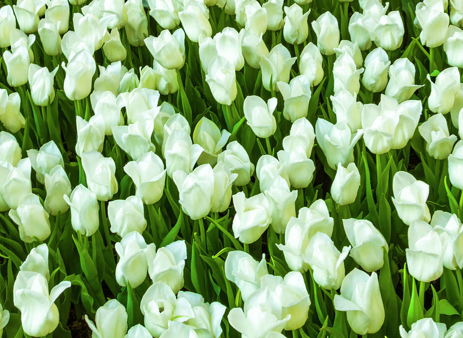 White Tulips on Green by Bonnie Follett