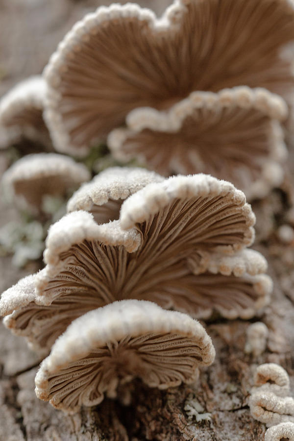 Schizophyllum Mushroom by Iris Richardson