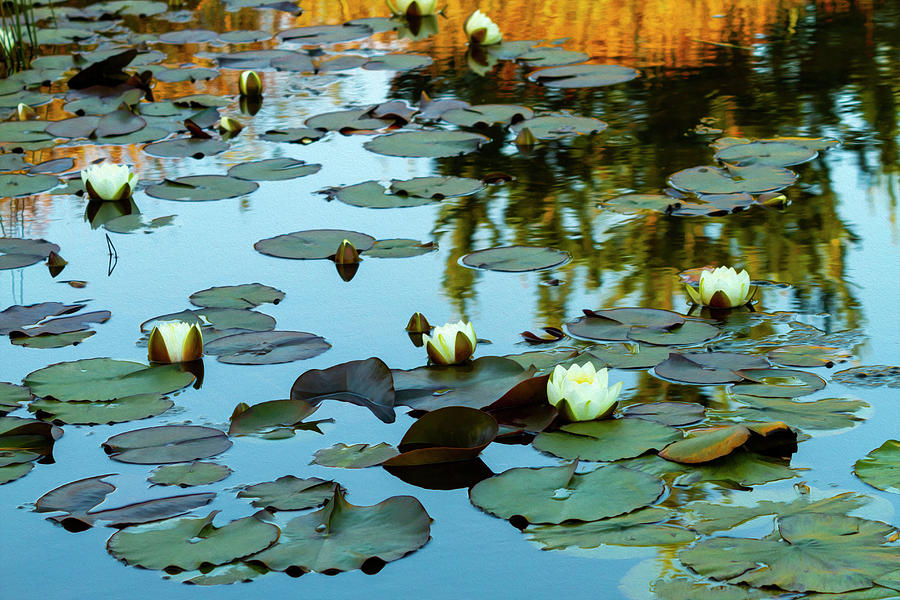 White Water Lilies on Pond by Bonnie Follett