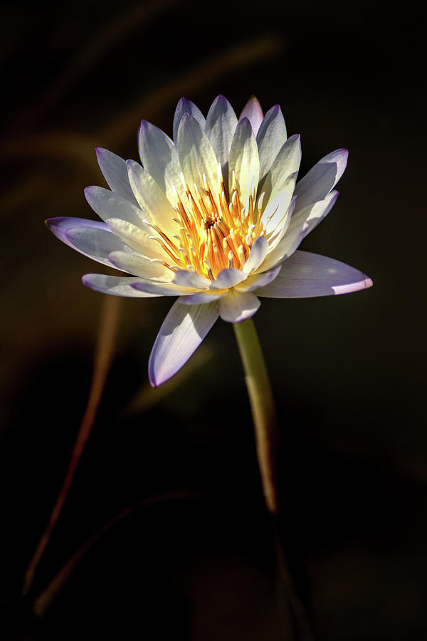 White Water Lily by Don Johnson