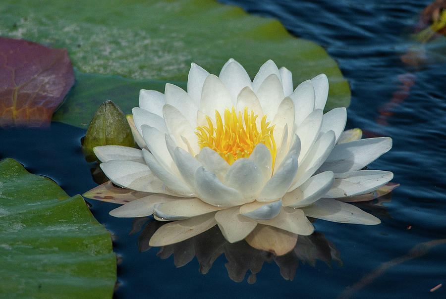 White Water Lily - Florida by Gene Bollig