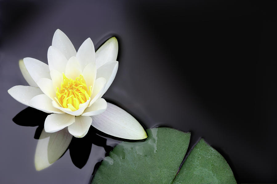 White Water Lily Nymphaea Alba Floating Photograph by Seraficus