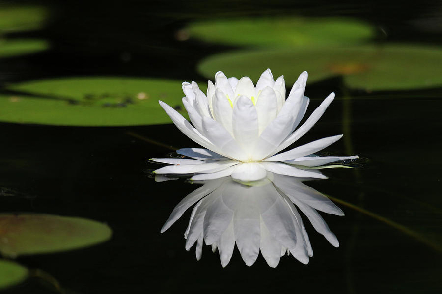 White Water Lily Reflection by Brook Burling