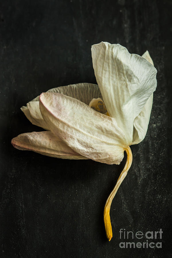 Delicate Photograph - White Withered Orchid Close Up Macro On by Pinkyone