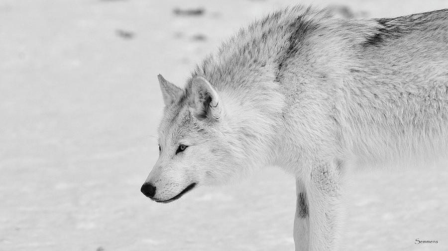 White Wolf 1 Photograph by Gordon Semmens