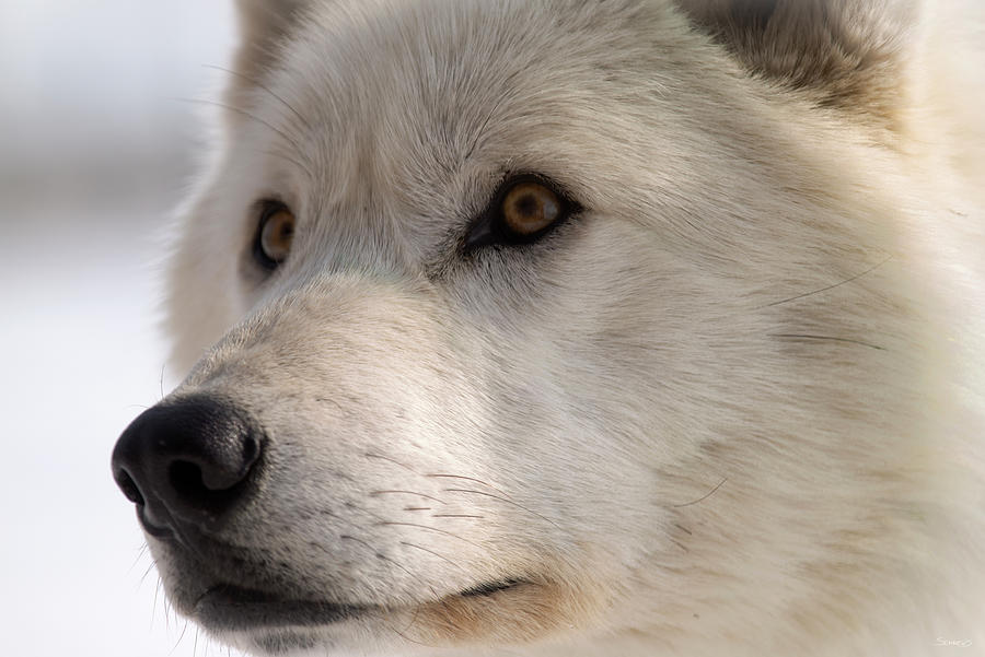 Wolf Photograph - White Wolf Color by Gordon Semmens