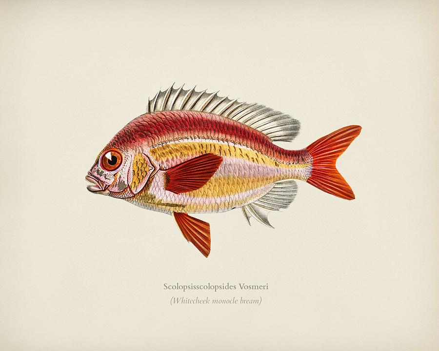 Whitecheek monocle bream  Scolopsisscolopsides Vosmeri  illustrated by Charles Dessalines D  Orbigny by Celestial Images