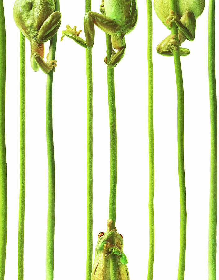 Whites Tree Frogs Climbing Plant Stems Photograph by Gandee Vasan